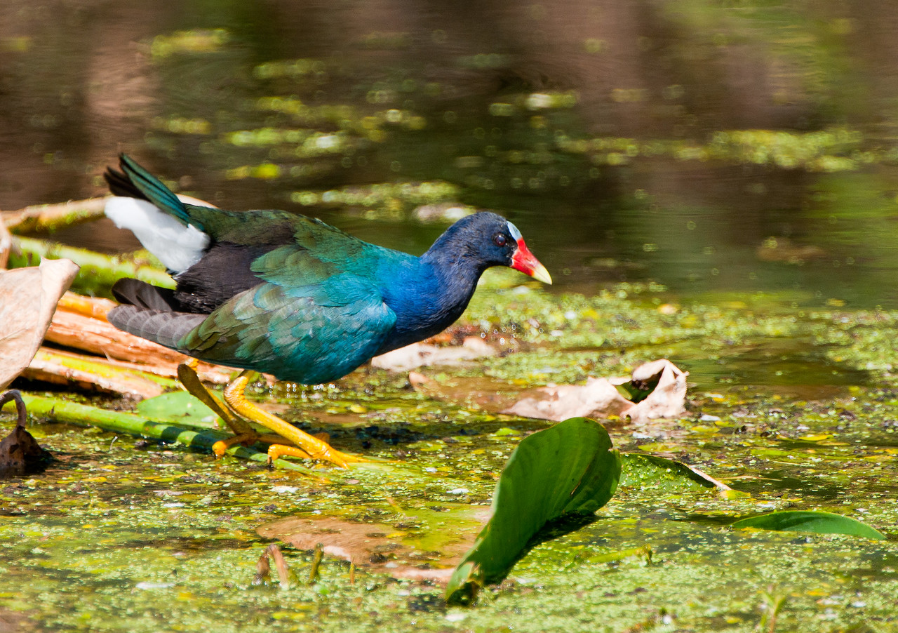 Purple Gallinule searching the duckweed for a meal.