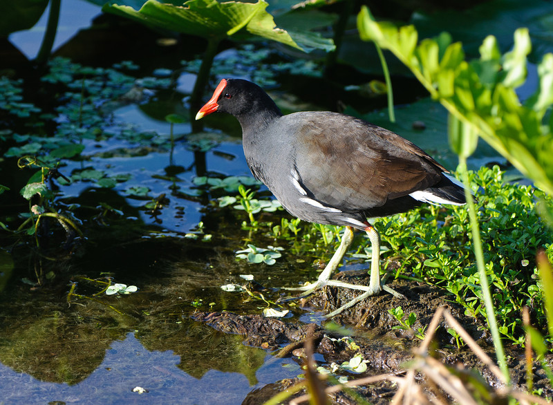 A common Moorhen catches earl morning light.