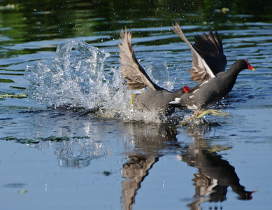 Moorhen chasing off the competition.