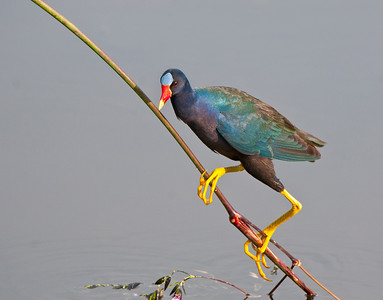 A purple gallinule clings to a twig in the wetlands.