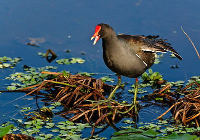 A Moorhen calling for his mate.  Note the size of the feet to allow running on the water surface.