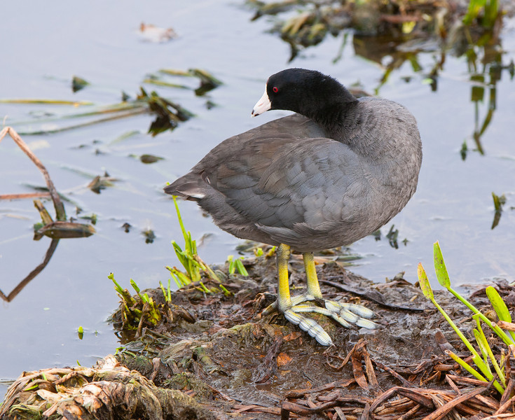 An American Coot displays his large feet with their special adaptation for  walking on the floating leaves of everglades plants.