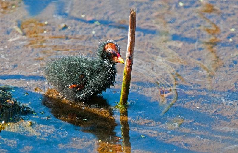 Common Moorhen chick.