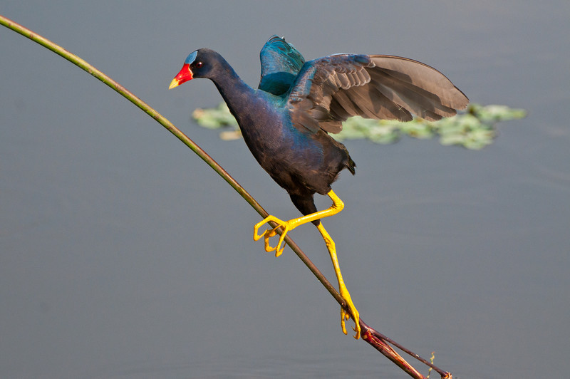 Using its wings for balance a Purple Gallinule races up a  twig to avoid an approaching gator.