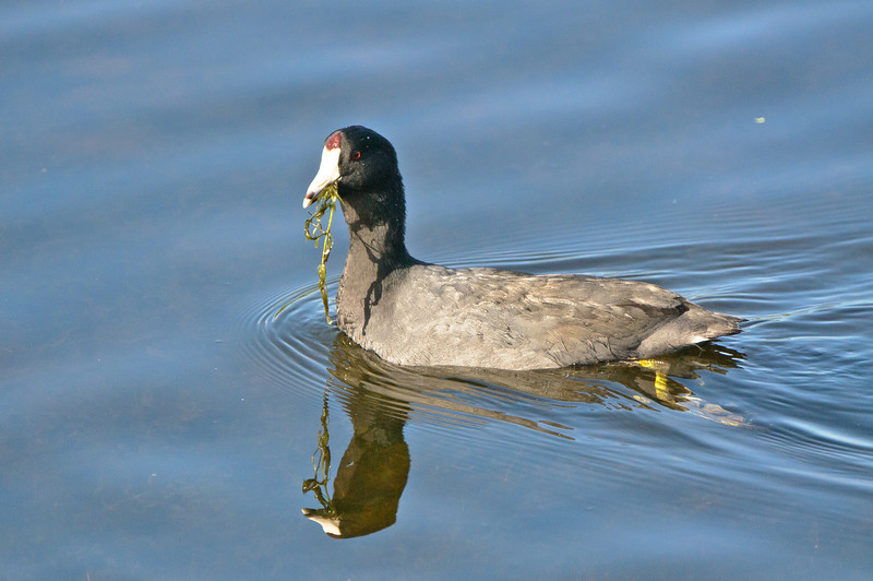 American Coot with vegetables.