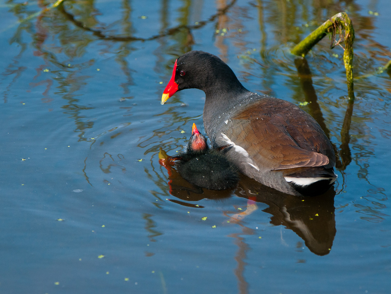 Common Moorhen with chick