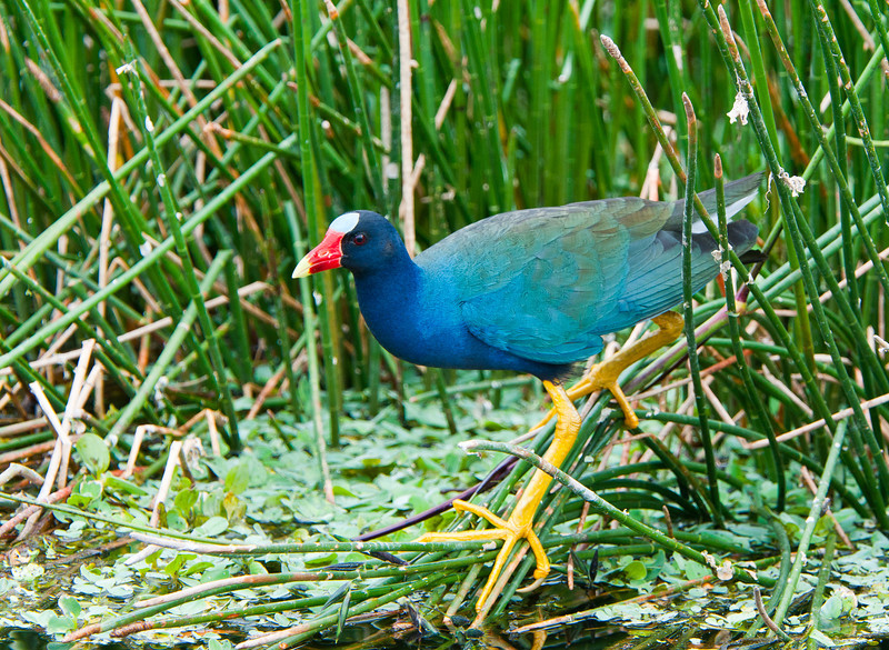 A Purple Gallinule uses his large feet to balance a grasses while it searches for frogs.