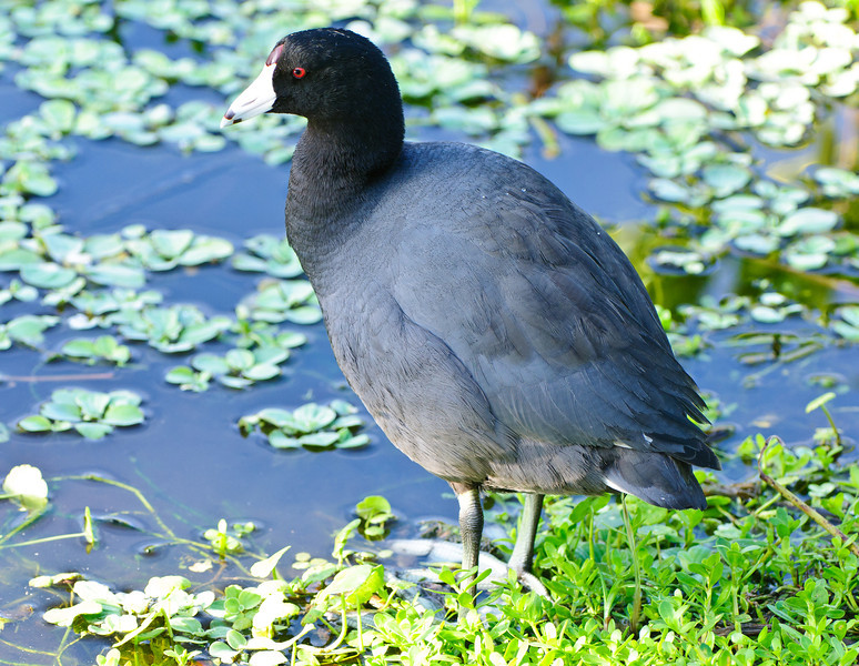 A coot.