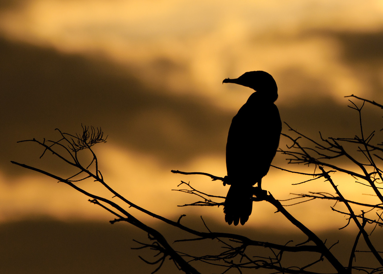 A Double Crested Cormorant watches sunrise over the wetlands.