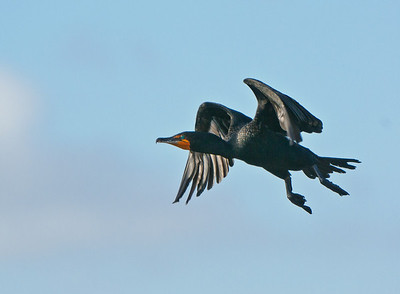 Double Crested Cormorant male in flight.