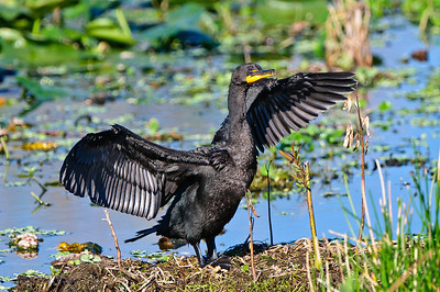 Double Crested Cormorant drying his wings.