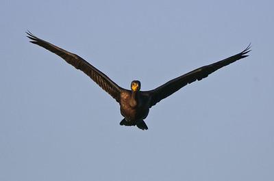 A crested cormorant in flight.