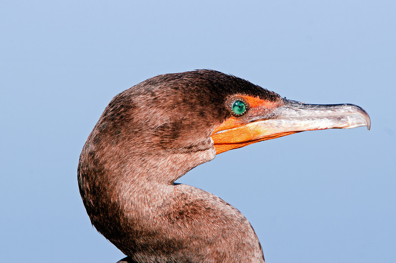 A cormorant display its distinctive green eye.