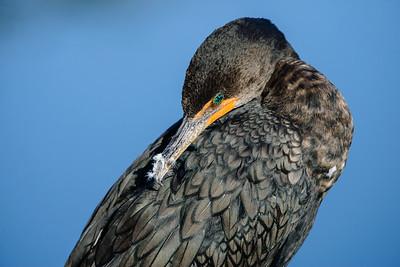 Shy Cormorant