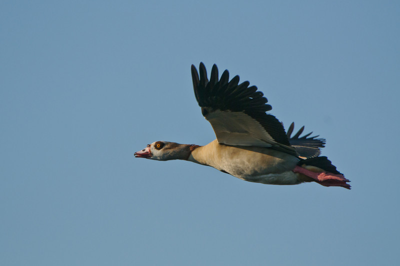 A non native Egyptian Goose flys over the everglades.