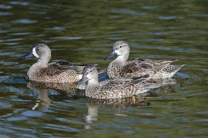 Blue Teal Ducks