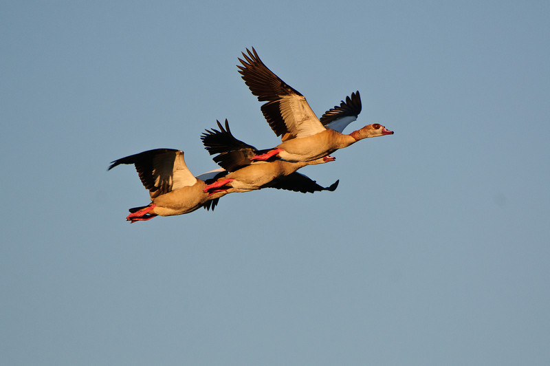 Non native Egyptian Geese fly over the everglades.