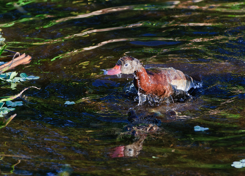 Whistling Duck getting a bath