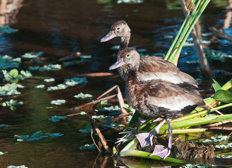 Juvenal Whistling Ducks