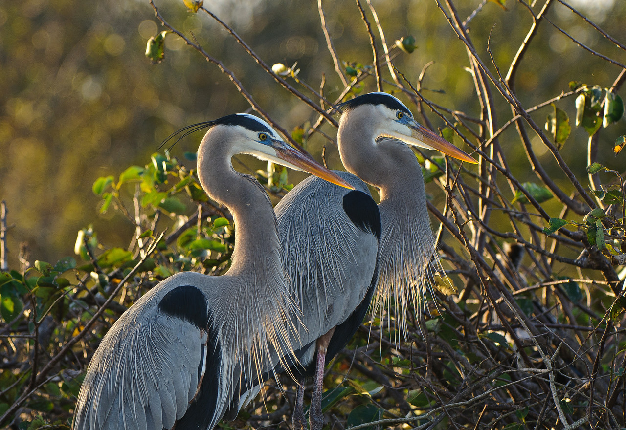 A mated pair of Great Blue Herons