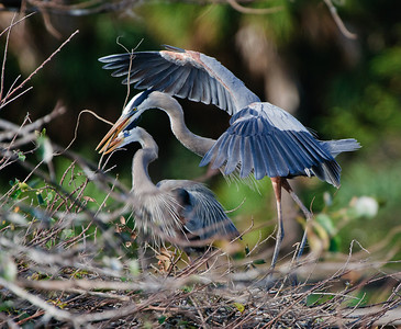 Together a pair of Great Blue Herons construct their nest.
