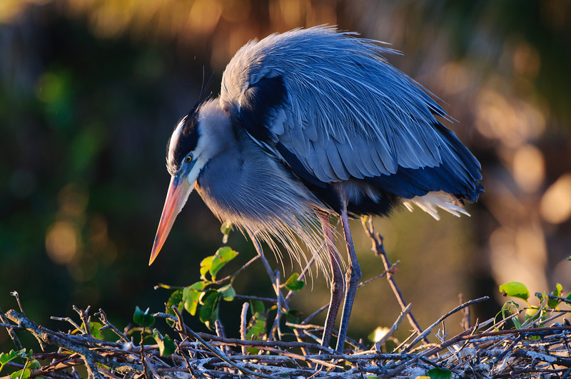 A female Great Blue Heron inspects her nest.