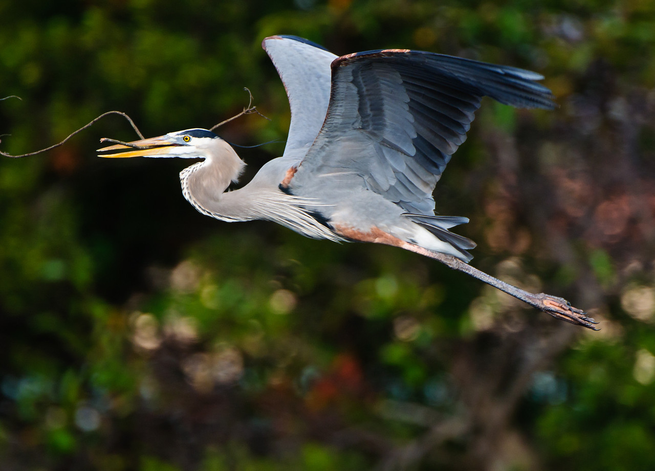 Great Blue Heron carries nesting material back to the nest.