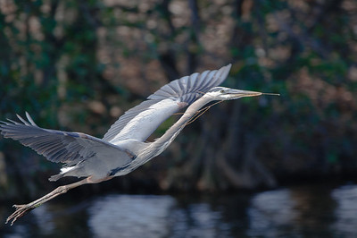 Great Blue Heron returns to his nest with building materials.
