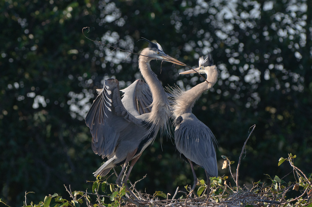 A mated pair of GBHs show off their breed plumage as part of a mating ritual.