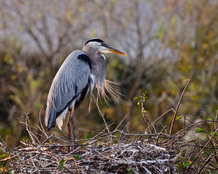Great Blue Heron shows off breeding plummage.