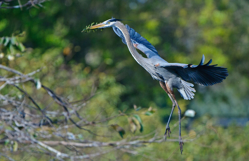 A Great Blue Heron arrives athis nest wil building material.