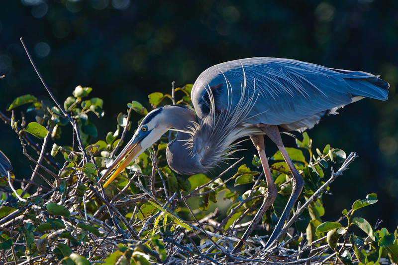 Great Blue Heron nest building.