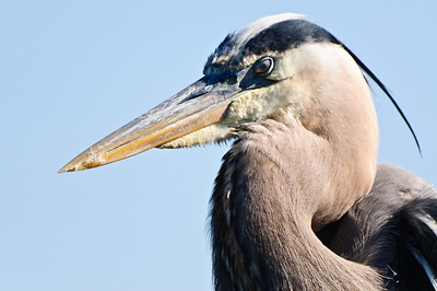 Great Blue Heron mother sitting on her nest the morning her chicks were hatched.