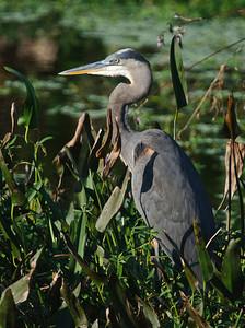 A Great Blue Heron stands guard inthe wetlands near dusk.