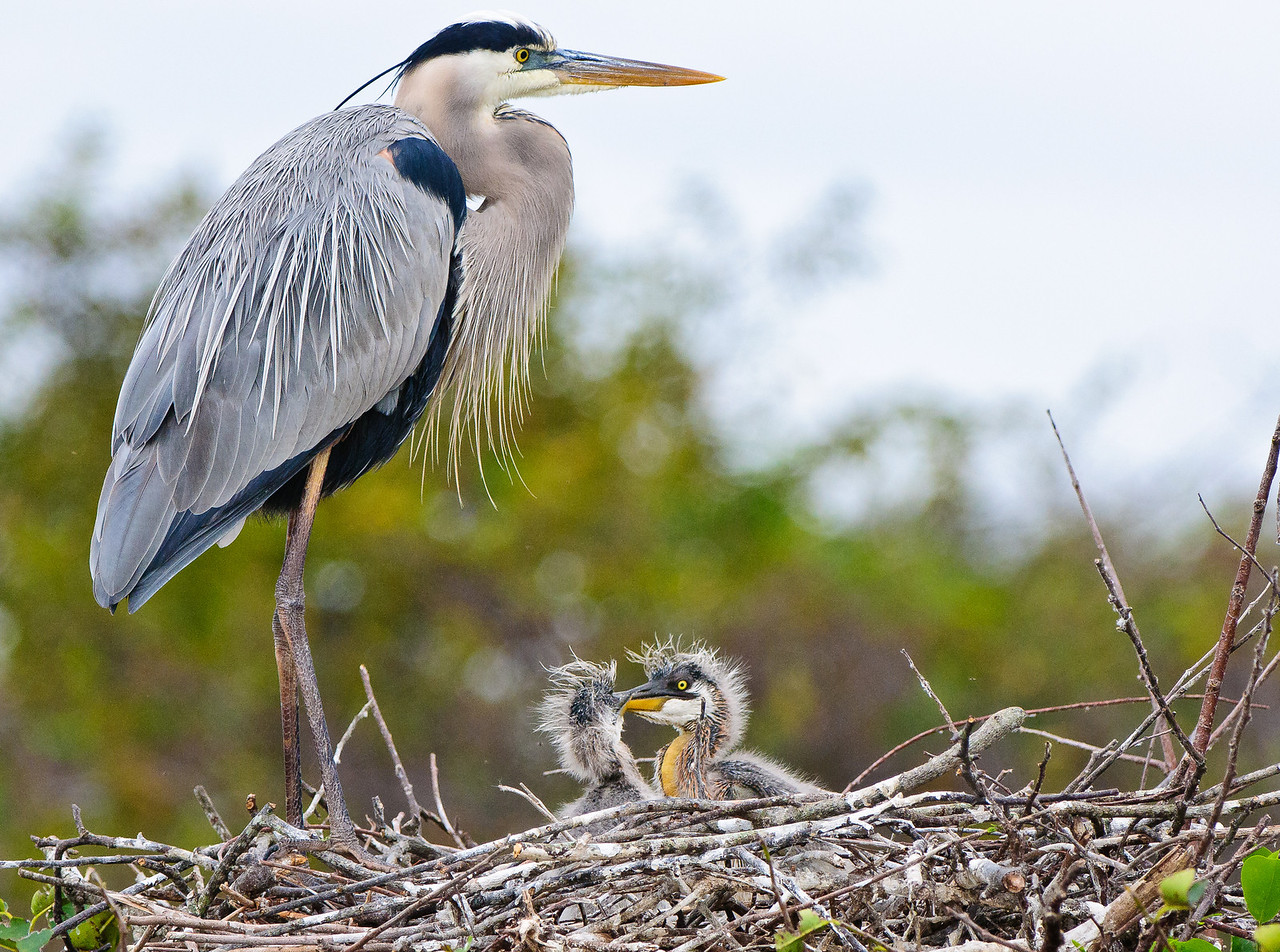 GBH mothers proudly shows off her one week old chicks.