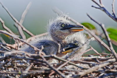 Great Blue Heron chick two weeks old.