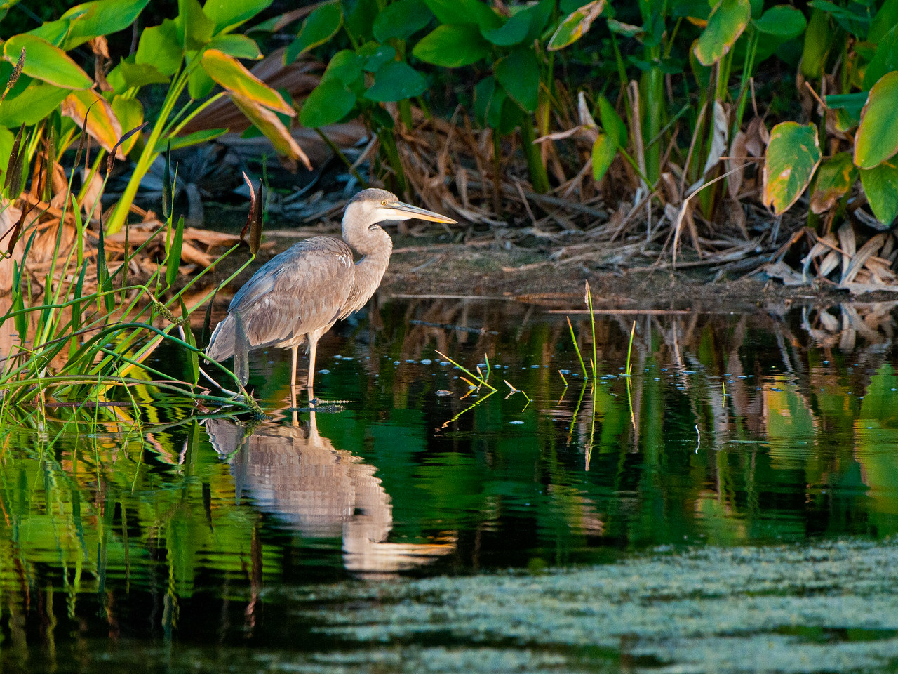 A Great Blue Heron catches the last light of a beautiful evening at Green Cay.