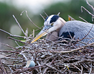 Great Blue Heron covers her chicks just after their birth.  An egg shell fragment rests in the foreground.