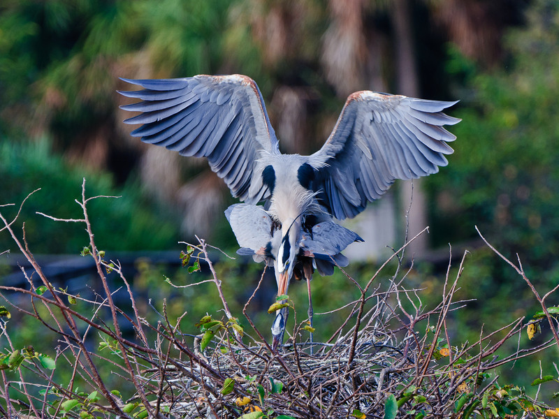 Great Blue Herons mating.