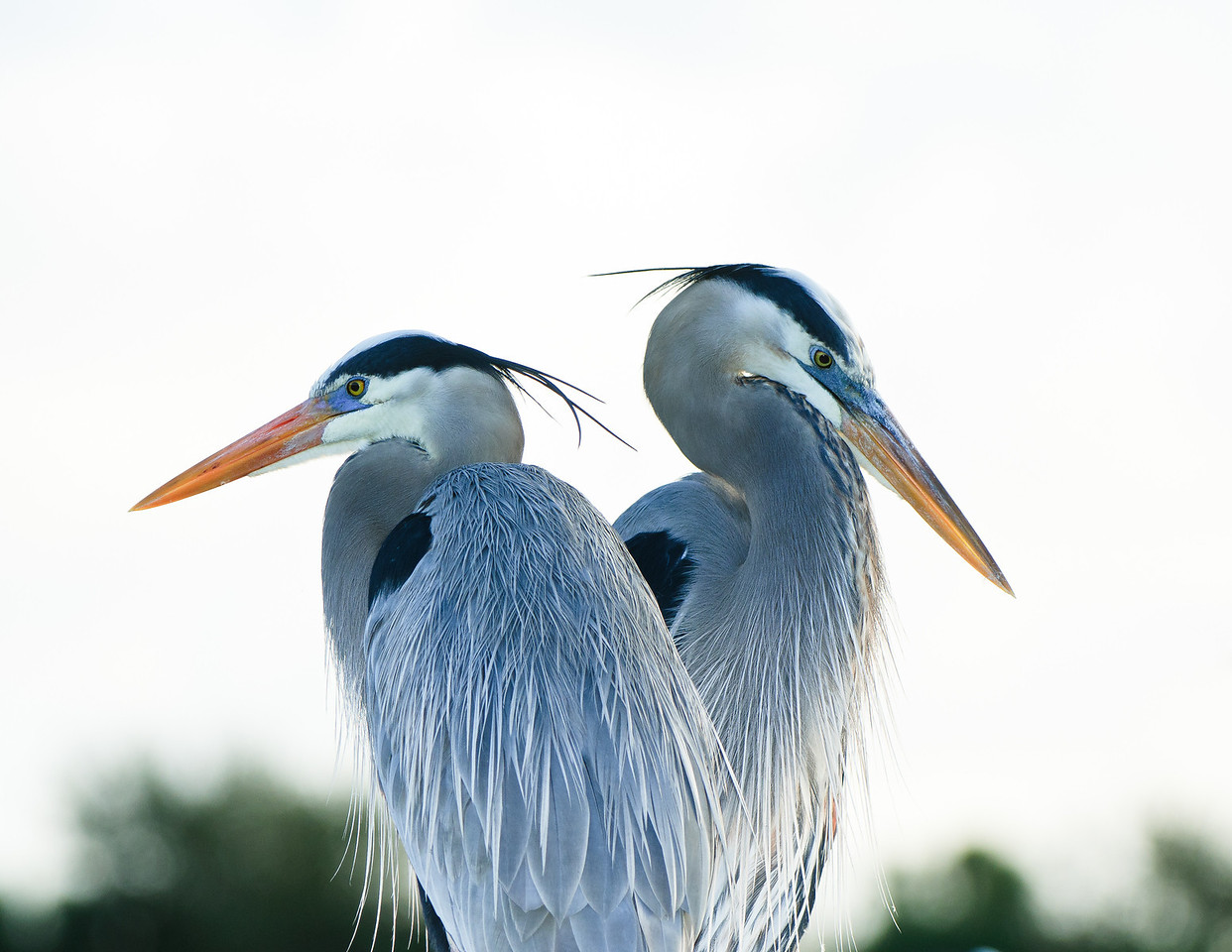 Great Blue Herons bookends.