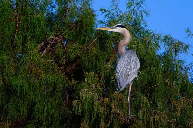 A male Great Blue Heron selects nesting materials from a bald cyprus tree.