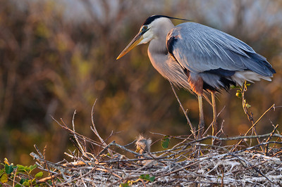 THe first light of a new day highlights a mother Great Blue Heron as she watches over her newly hatched chick.