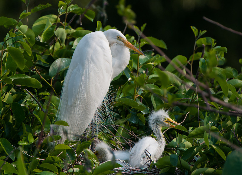 A Great White Egret mom watches over an inquisitive nestling.