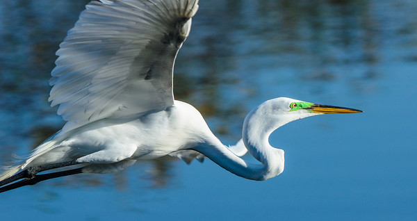 Great White Egret  in close fly by.