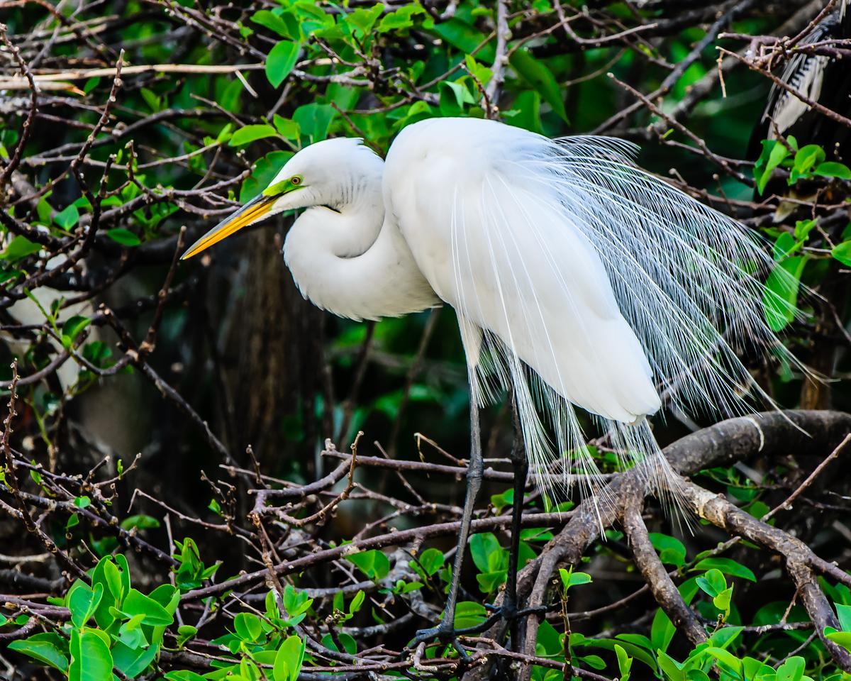 Great White Egret in breeding plumage