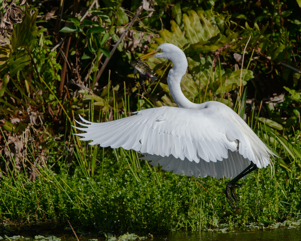 Great White Egret with Grab and Go Lunch