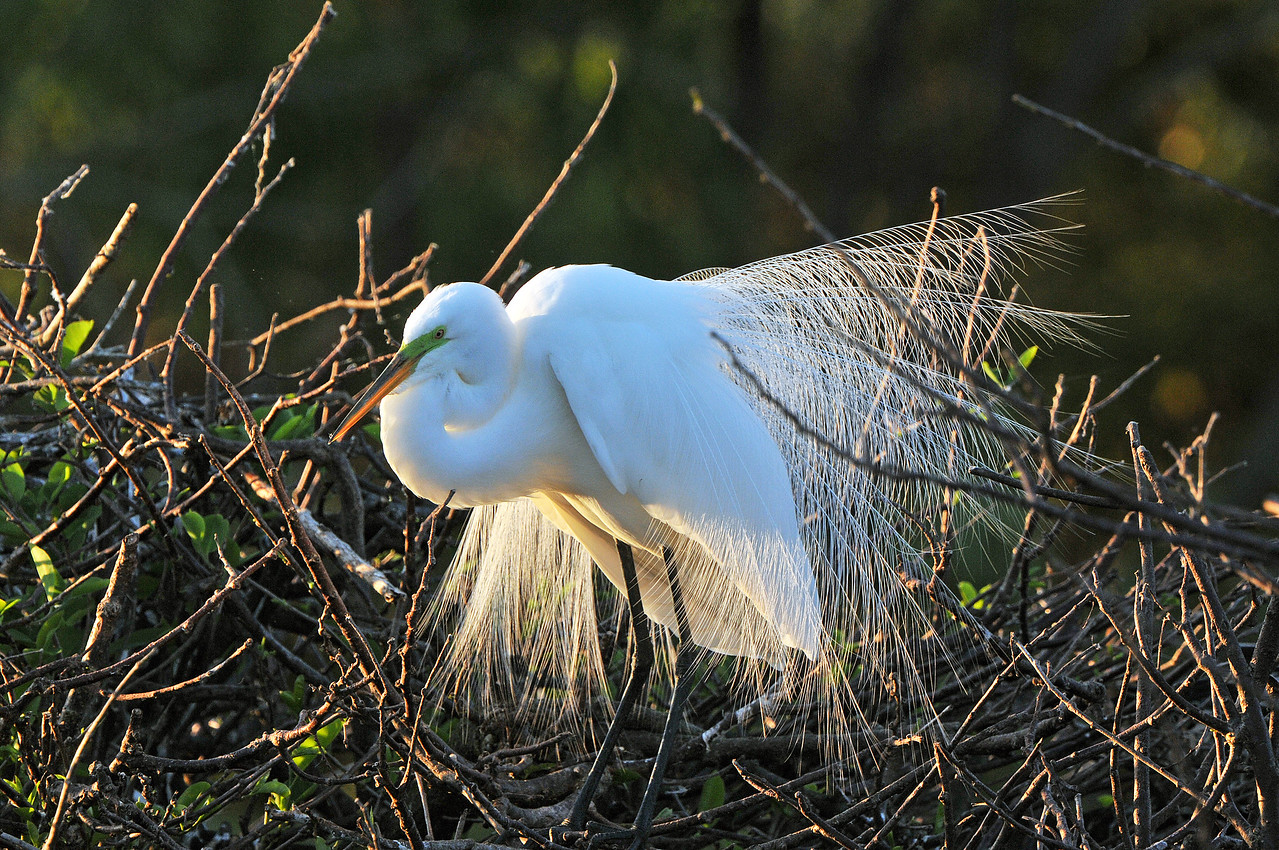 A Great White Egret displays breeding plumage near sunset in the everglades.