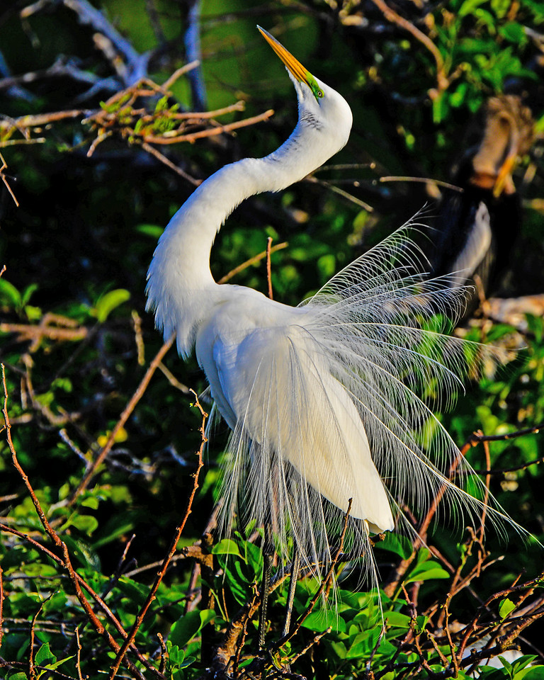 Great White Egret shows of breeding plumage.