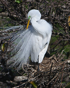Great White Egret in breed plumage.
