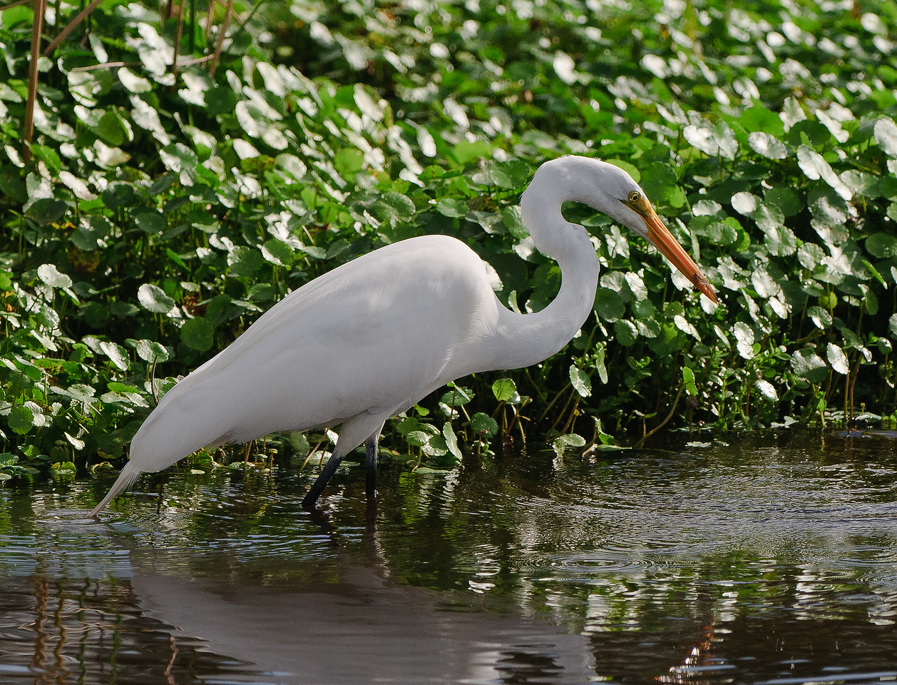 Great White Egret with a tiny fish.